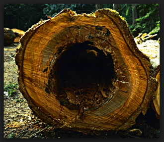 heartwood rot